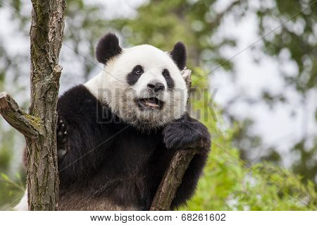 Giant Panda On The Tree