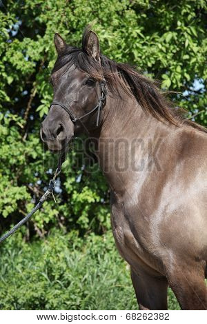 Portrait Of Nice Pony With Halter