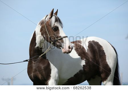 Portrait Of Beautiful Skewbald Pony