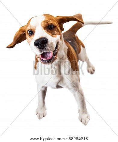 Beagle  On White