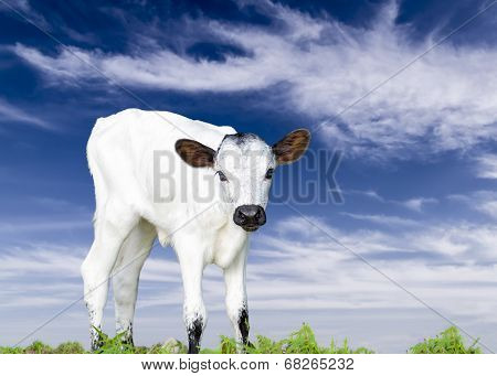 Baby Longhorn Calf