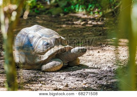 giant turtle in seychelles feeding on fome grass