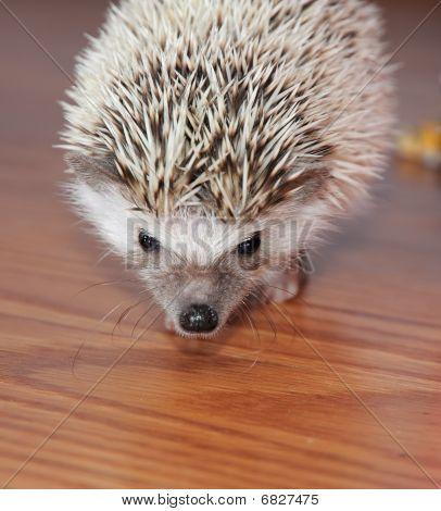 Alert Hedgehog On Wooden Floor