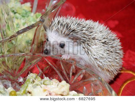 Hedgehog Looking Into Salad Bowl