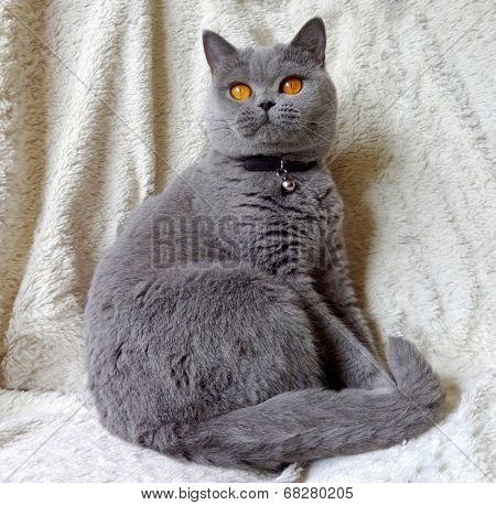 british shorthair blue cat