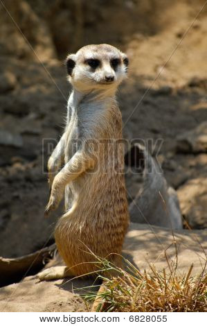 Meerkat Standing To Attention
