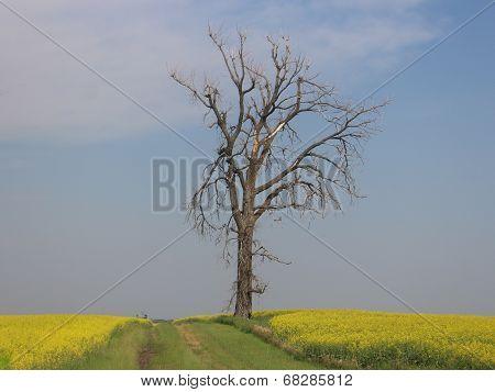 Dead Tree by a Canola field