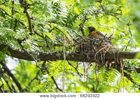 Robin Guarding Her Nest