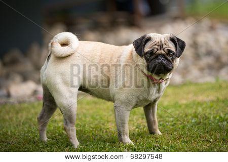 Pug Lady