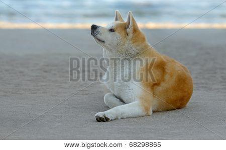 Female Akita Inu Dog At The Beach