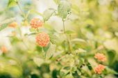 stock photo of lantana  - Lantana or Wild sage or Cloth of gold or Lantana camara flower in the garden vintage