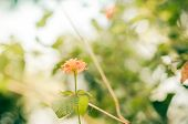pic of lantana  - Lantana or Wild sage or Cloth of gold or Lantana camara flower in the garden vintage - JPG