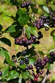 picture of aronia  - Bush of beautiful fresh aronia in garden