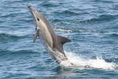 stock photo of bottlenose dolphin  - Common Dolphin breaching and playing in the waves