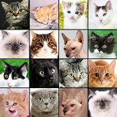 picture of puss  - Collage of different cute cats - JPG