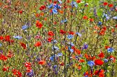 picture of chicory  - Field of bright red  poppy flowers with chicory plant close up  in summer day - JPG