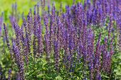 stock photo of clary  - Colorful flowering Salvia nemorosa or Balkan clary on a sunny in the beginning of the summer season - JPG