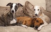 picture of hound dog  - group of dogs - JPG