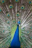 stock photo of indian peafowl  - Portrait of an indian peafowl (Pavo cristatus) with its tail opened