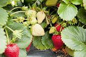 pic of strawberry plant  - Ripening strawberries on the strawberry plant in a farm - JPG