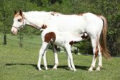 pic of mare foal  - Amazing paint horse foal with mare on pasturage - JPG