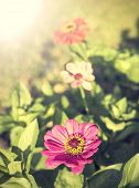 picture of zinnias  - Vintage zinnia flower nature background with sun - JPG