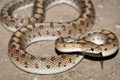 picture of harmless snakes  - Common glossy snake  - JPG