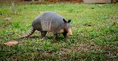 pic of armadillo  - Nine-Banded Armadillo in Costa Rica in green grassy field.