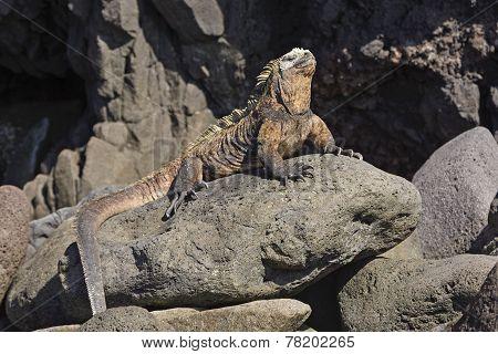 Male Marine Iguana On A Rocky Outcrop