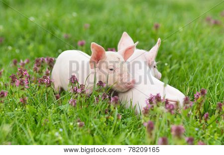 Piglets On Grass