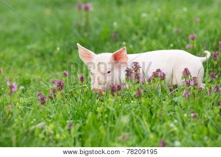 Piglet On Grass