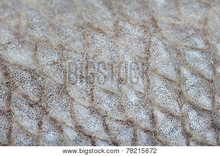 Fish scales close-up (macro)