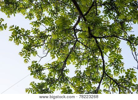 Green Branches Of The Walnut Tree