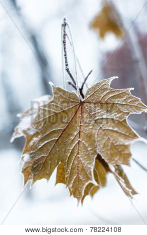 Maple Leaves Covered With Hoarfrost