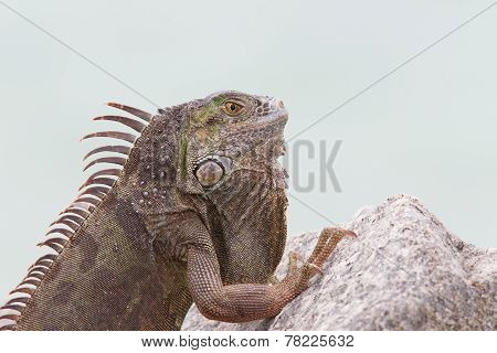 An Iguana perched on a stone