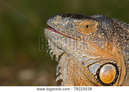A portrait of a Iguana