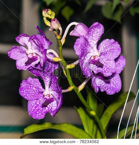 Bouquet Of Purple Orchids, Vanda