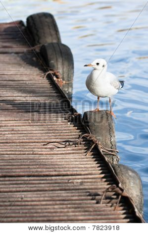 Sea Gull Sitting On Pier