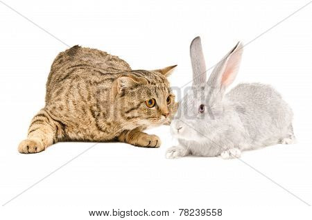 Scottish Straight cat sniffing gray rabbit