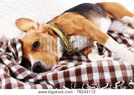 Beagle dog on plaid close-up