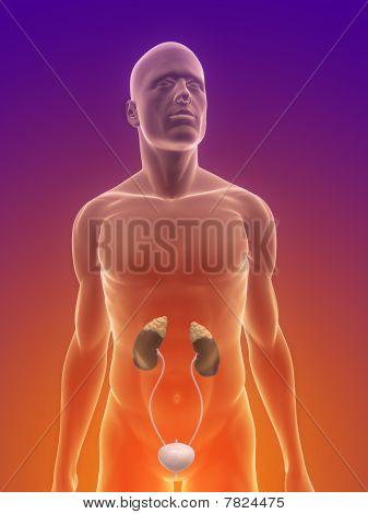 human urinary system