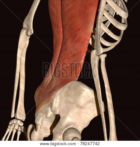 skeleton rib muscle