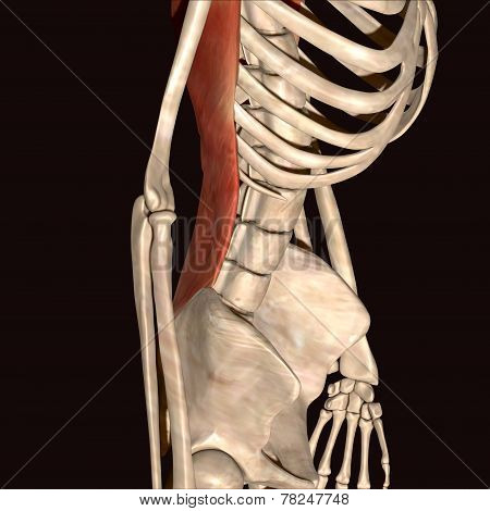 skeleton muscle