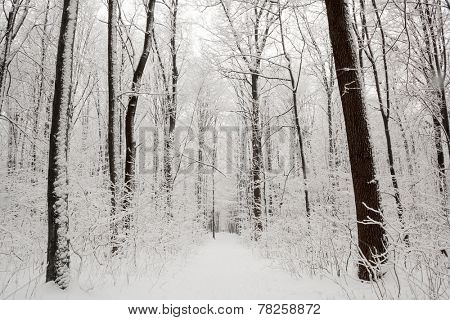 forest trees. nature snow wood backgrounds.