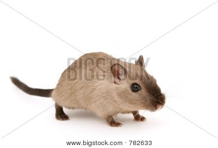 Picture or Photo of Cute young male rodent isolated on white, macro closeup, close-up with copy space