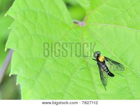Golden Backed Snipe Fly