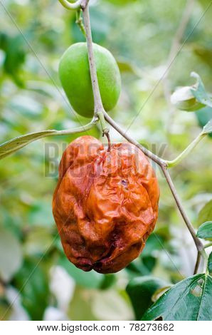 Rotten Monkey Apple Or  Jujube