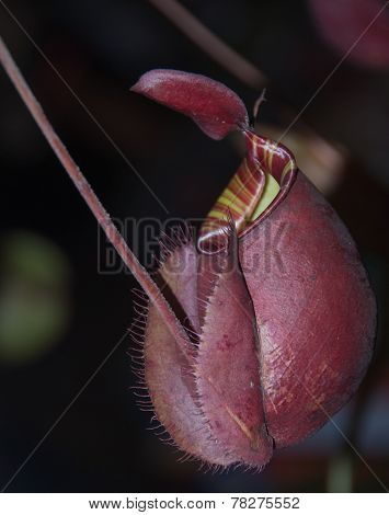 Nepenthes, Monkey Cups