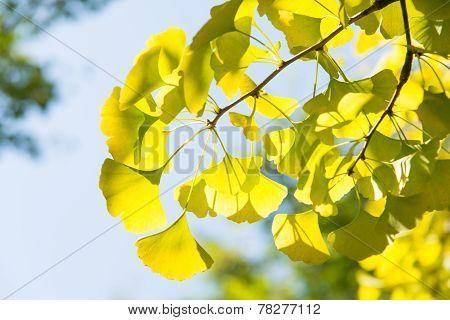 Yellowish Green Ginkgo Leaves