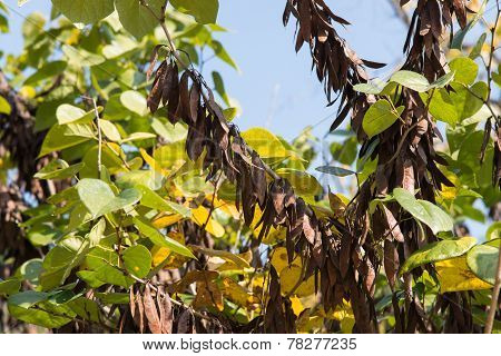Beans Of Judas Tree